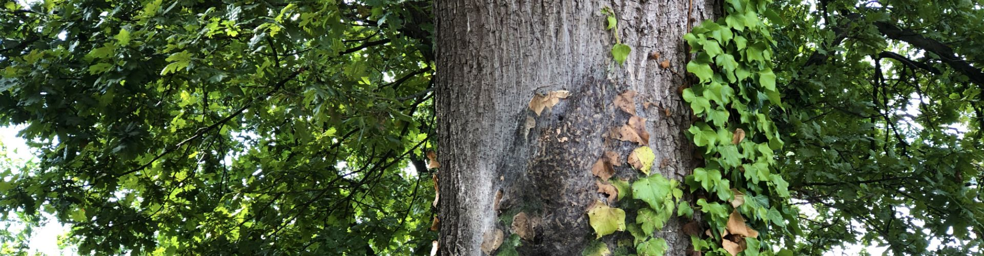 Processionary Caterpillar invading oaktrees with nests