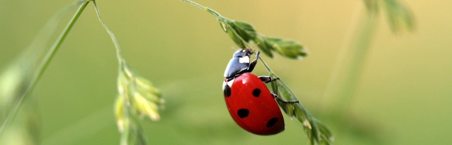 A Coccinellidae crawling around for Integrated Pest Management